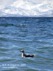 Тихоокеанская чайка