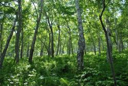Петропавловск-Камчатский: каменноберезовый лес на северном склоне Никольской сопки