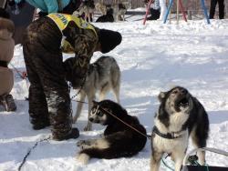 72. Каюр Берингии-2013 с собаками после финиша в Мэнэдеке. МАрт 2013.jpg