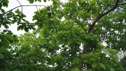 oak-mong01.thumb.jpg.5485b6020c95f69a5d528e32575b872f.jpg
